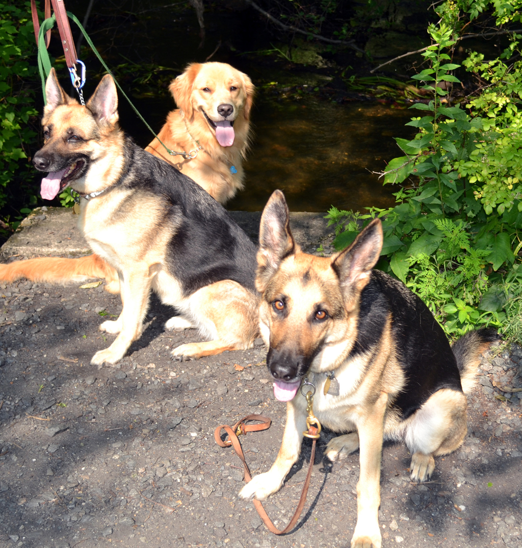 two german shepherds and a golden retriever