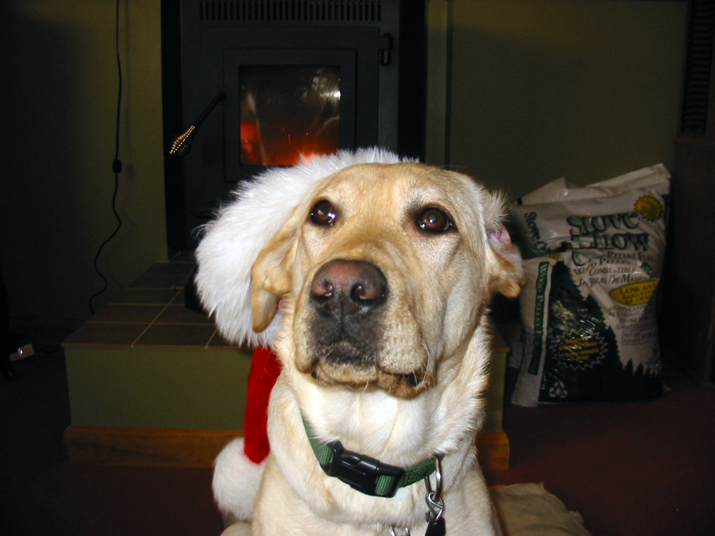 Yellow lab Cher with a santa hat