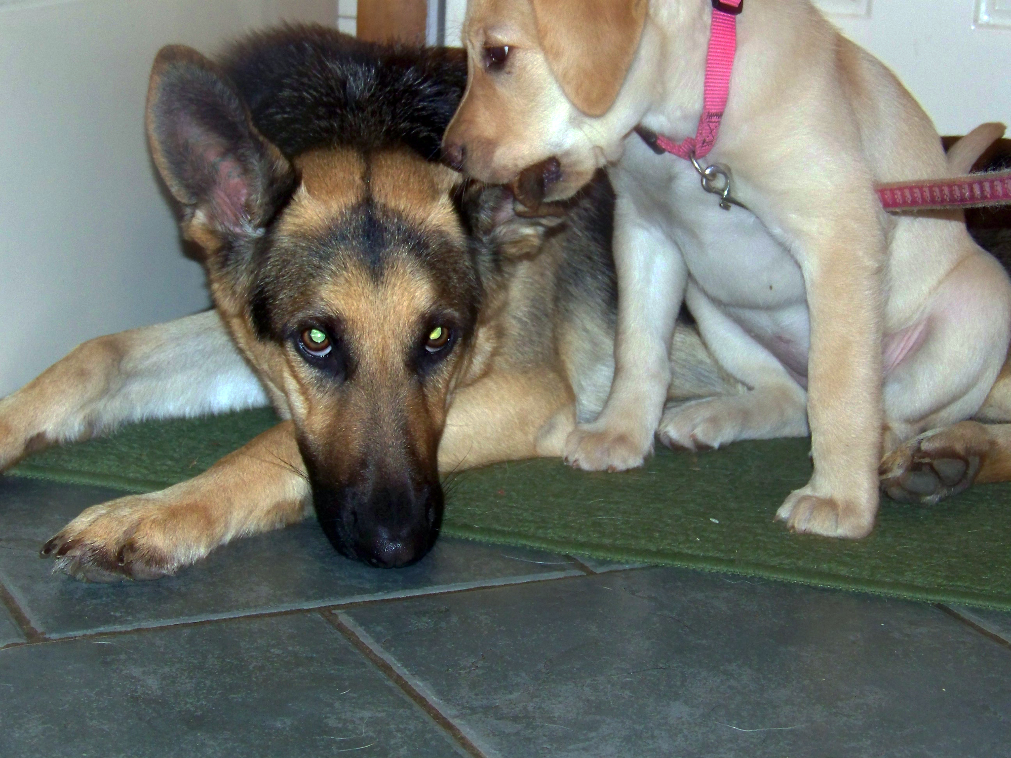 young yellow labrador chews on german shepherd Oprahs ear
