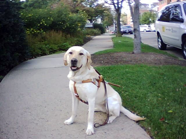 yellow lab Haiku ready to be a guide dog