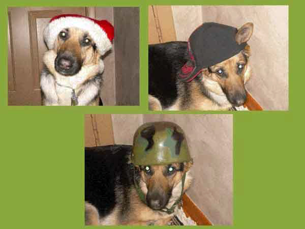german shepherd Karma liked to wear hats