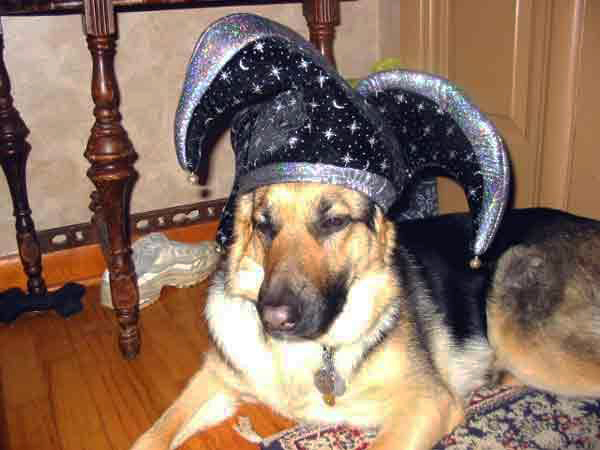 german shepherd Karma in a jesters hat