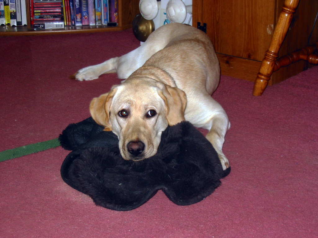 yellow lab laying on a black blanket