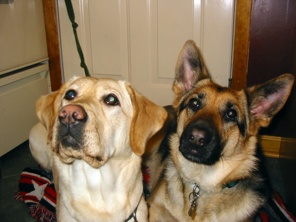 german shepherd Karma and yellow lab Haiku waiting to eat