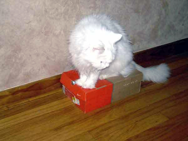 all white cat Kritter sitting in a box