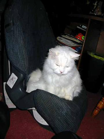 white cat Kritter sitting in a childs car seat