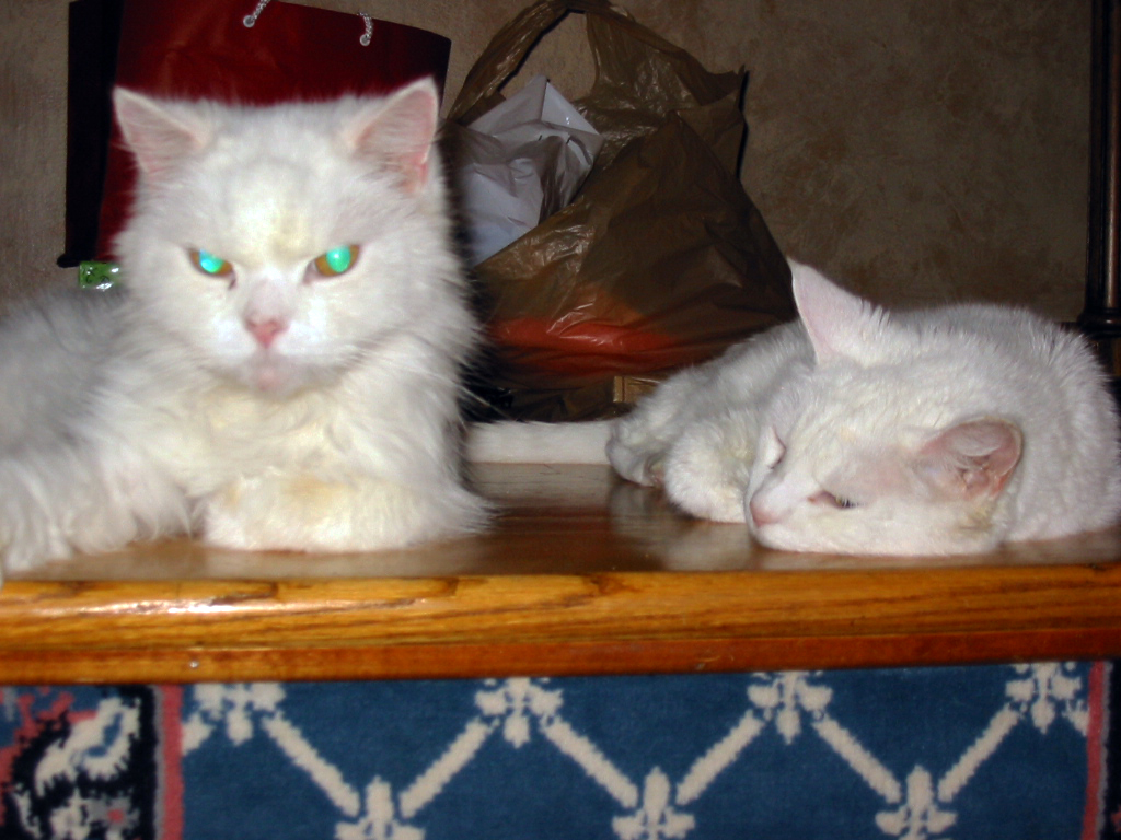 two white cats Kritter and Whitey napping together