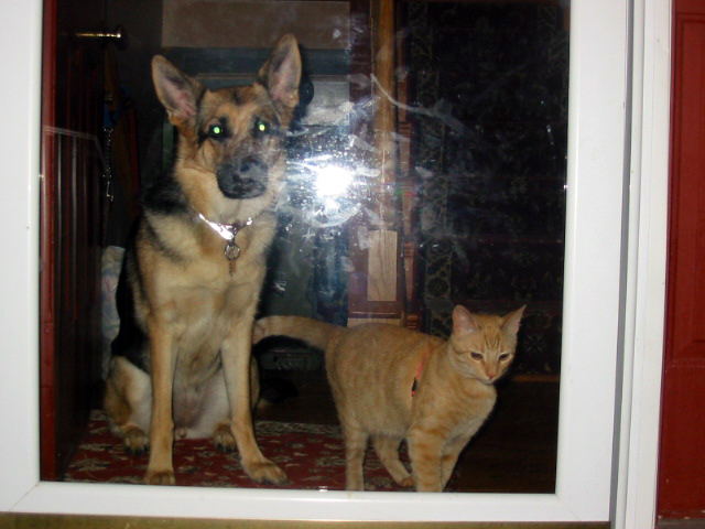 german shepherd Karma and Pecan the orange cat watching out the front door