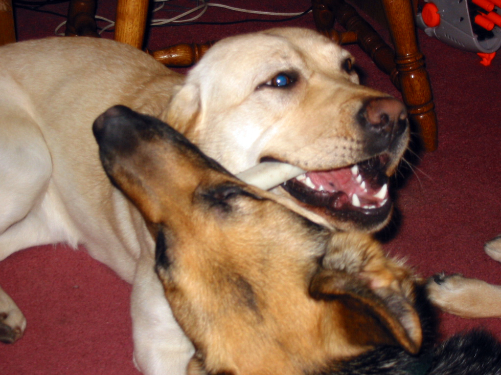 german shepherd Oprah and yellow lab Haiku chewing on the same bone