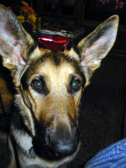 german shepherd Oprah with a red bow between her big ears