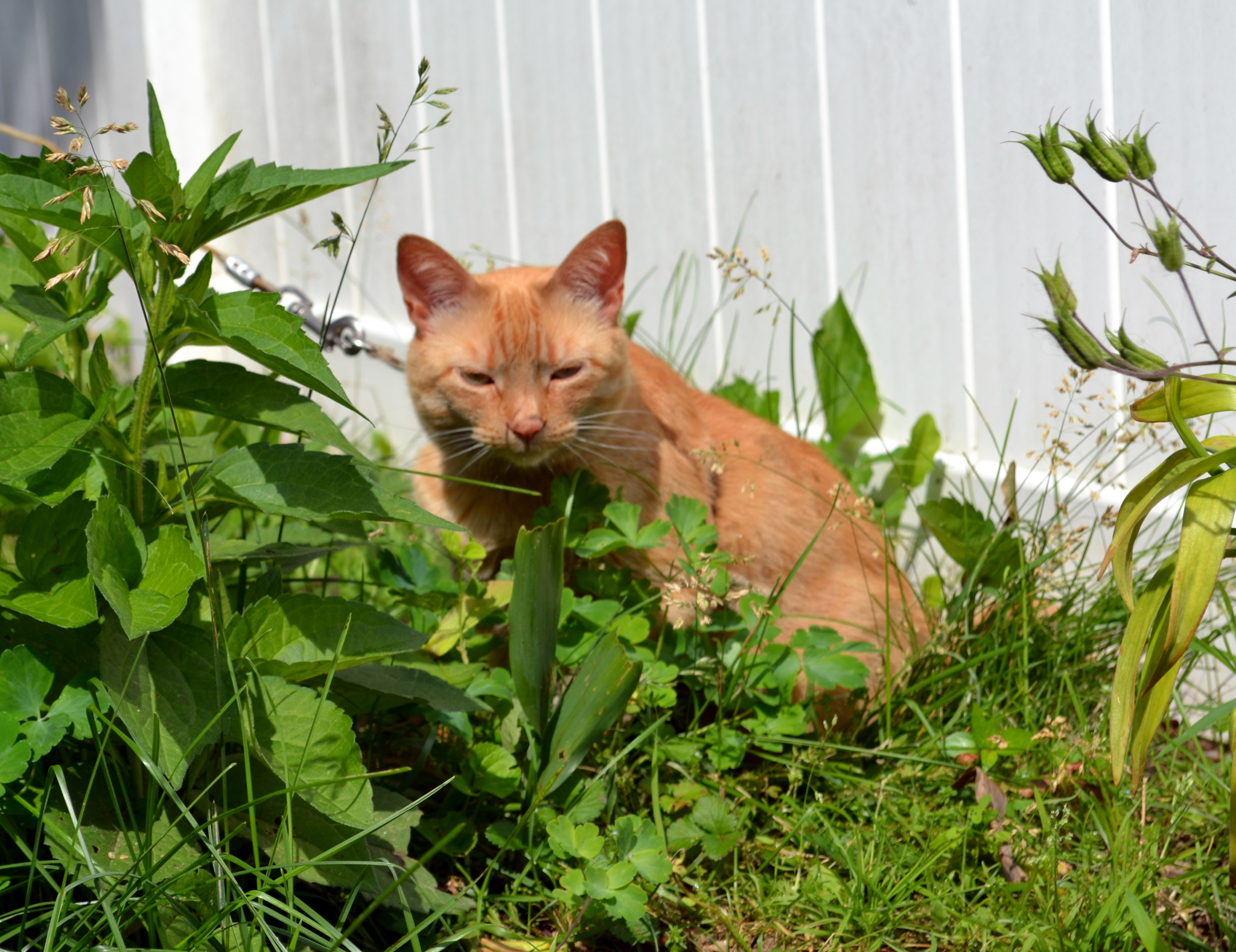 orange tabby cat Pecan in the garden