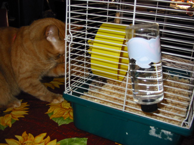 orange cat Pecan eyes up a small grey hamster in a cage