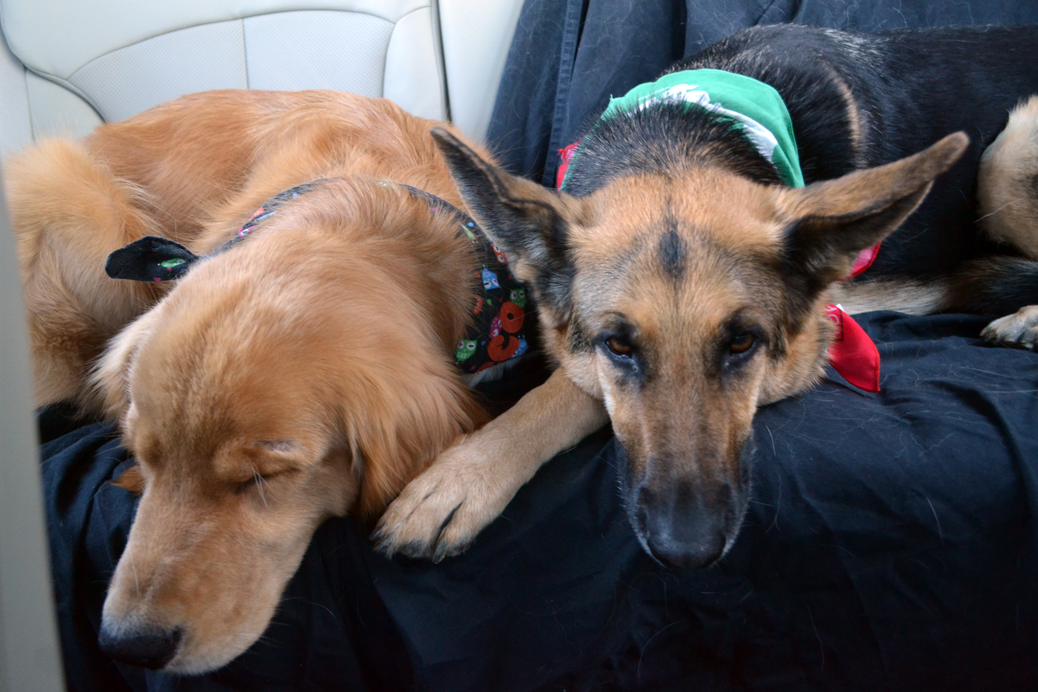 german shepherd Oprah and golden retriever Rocco after walking in a parade