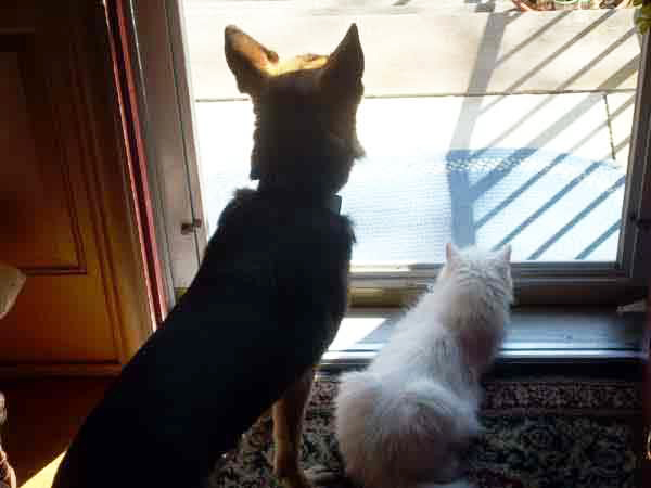 german shepherd Karma and white cat Kritter sit and watch out the front door