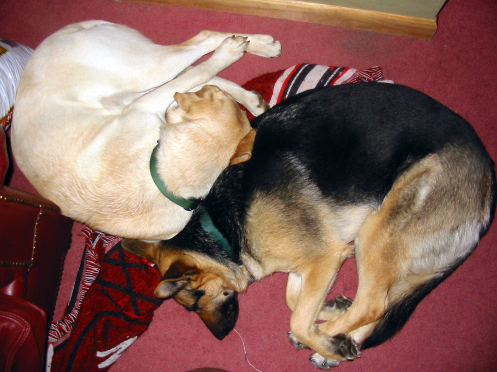 german shepherd Karma and yello lab Haiku enjoy sleeping near each other